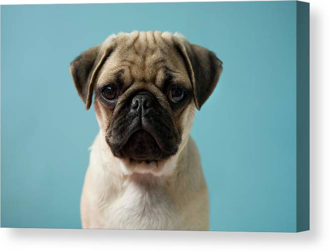 Pets Canvas Print featuring the photograph Pug Puppy Against Blue Background by Reggie Casagrande