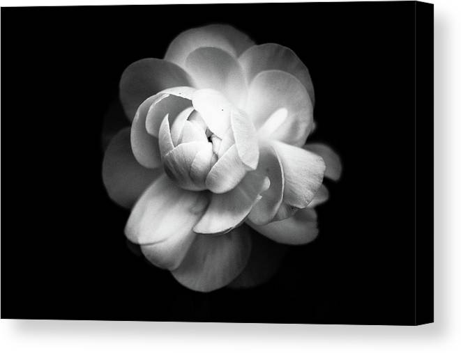 Black Background Canvas Print featuring the photograph Ranunculus Flower by Annfrau