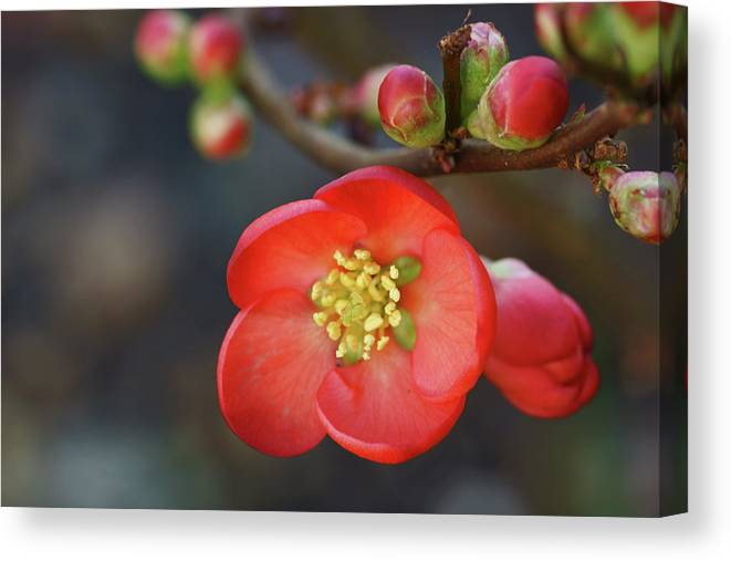Bud Canvas Print featuring the photograph Red Flowering Quince by Picture By La-ong