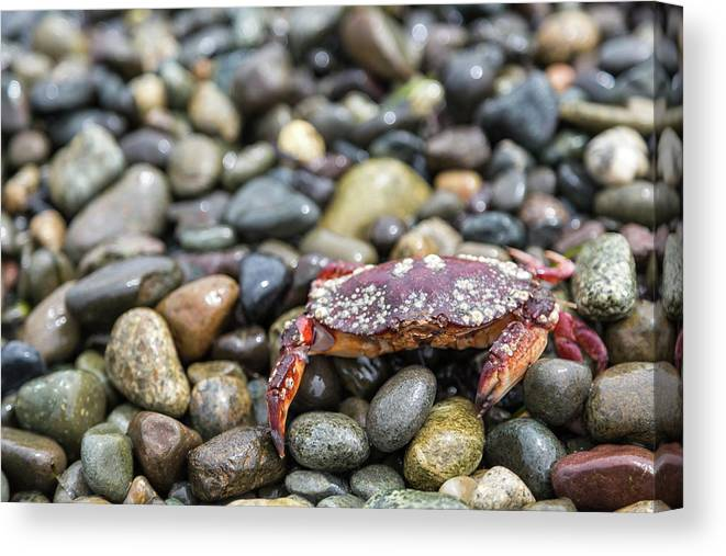 Water's Edge Canvas Print featuring the photograph Red Rock Crab On A Pebble Covered Beach by Stevedf