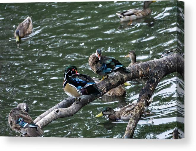 Duck Canvas Print featuring the photograph Resting Ducks by Rob Olivo