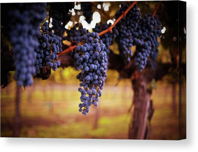 Saturated Color Canvas Print featuring the photograph Ripe Grapes by Thepalmer
