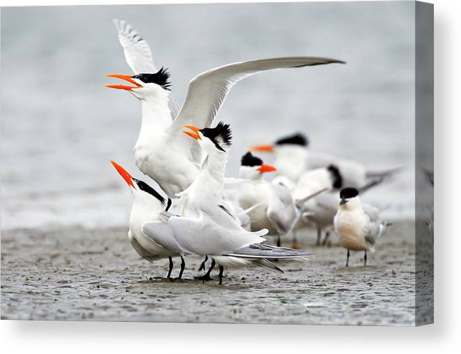 Animal Themes Canvas Print featuring the photograph Royal Tern Sterna Maxima Courtship by Danita Delimont