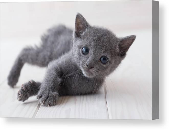 Pets Canvas Print featuring the photograph Russian Blue Lying Down On Floor by Mixa