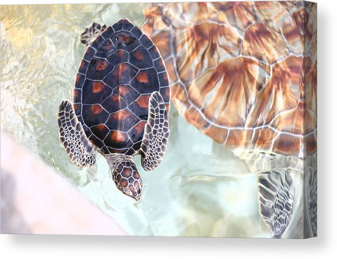 Underwater Canvas Print featuring the photograph Sea Turtle by Alyssa B. Young