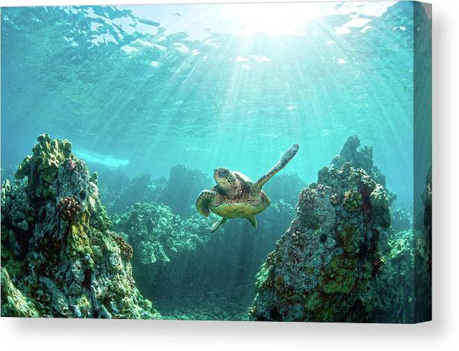 Underwater Canvas Print featuring the photograph Sea Turtle Coral Reef by M.m. Sweet