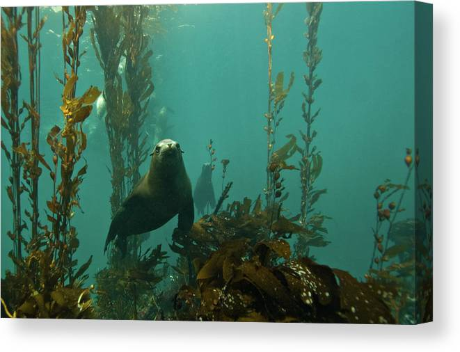 Sea Lion Canvas Print featuring the photograph Sealion by Douglas Klug