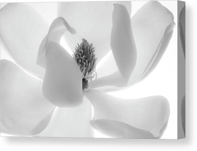 White Background Canvas Print featuring the photograph Simple Elegence by Susan Fan-brown
