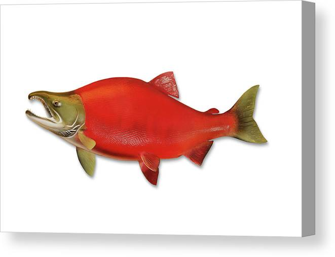 Orange Color Canvas Print featuring the photograph Sockeye Salmon With Clipping Path by Georgepeters
