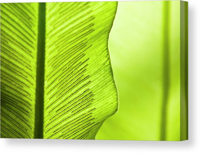 Outdoors Canvas Print featuring the photograph Spores Of A Fern by By Ken Ilio