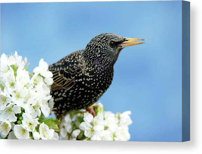 Songbird Canvas Print featuring the photograph Star In Springtime by Schnuddel