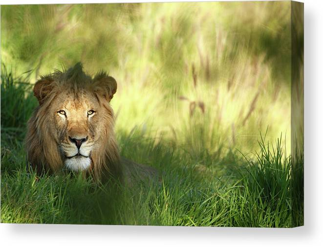 Tropical Rainforest Canvas Print featuring the photograph Staring Lion In Field Of Grass With by Jimkruger