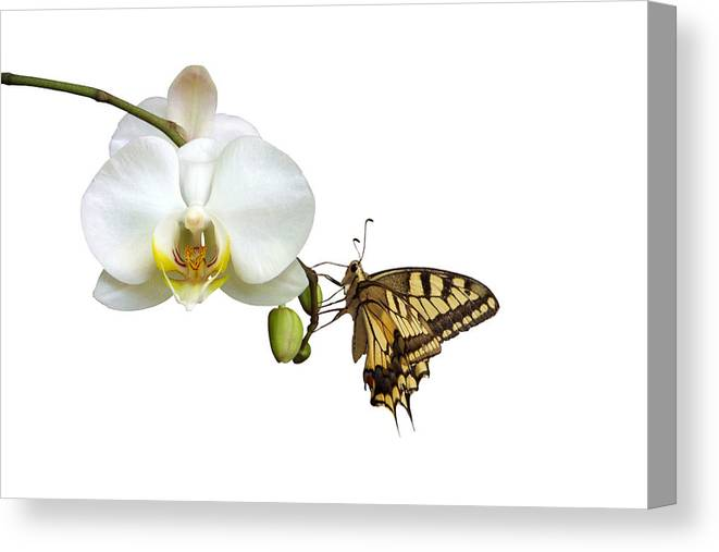 White Background Canvas Print featuring the photograph Swallowtail On White Orchid by Photographerolympus