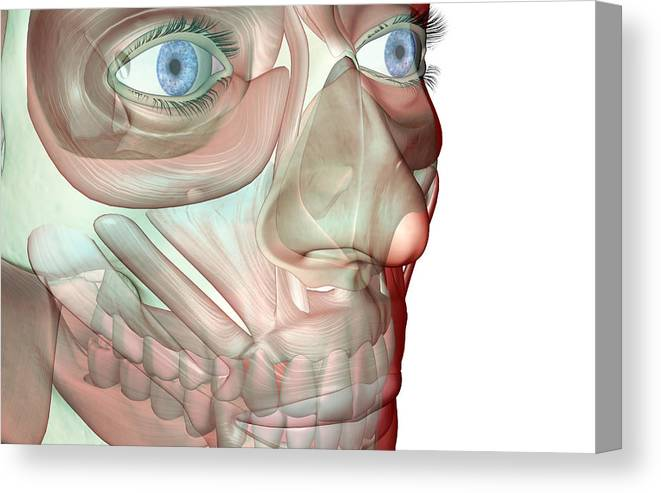 White Background Canvas Print featuring the digital art The Musculoskeleton Of The Face by Medicalrf.com