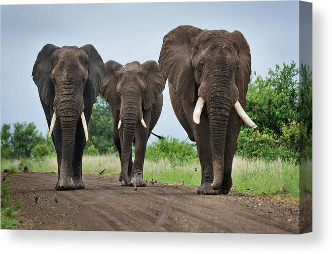Toughness Canvas Print featuring the photograph Three Big Elephants On A Dirt Road by Johansjolander