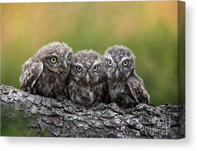 Bird Of Prey Canvas Print featuring the photograph Three Grimly Goblins by Michael Milfeit