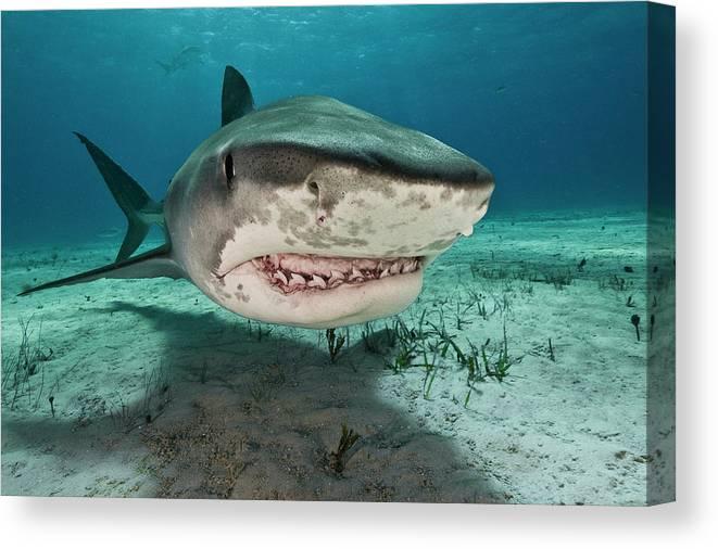 Underwater Canvas Print featuring the photograph Tiger Sharks Galeocerdo Cuvier Are by Rodrigo Friscione