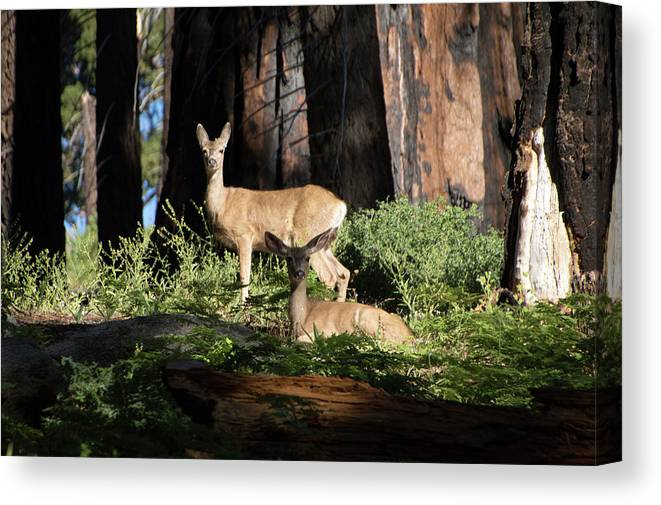 Deer Canvas Print featuring the photograph Two Deer by Carly Creley