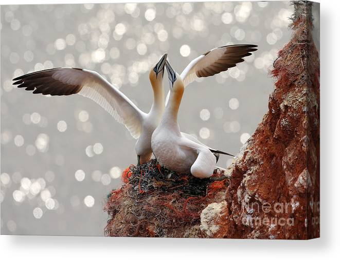 Beak Canvas Print featuring the photograph Two Gannets Bird Landing On The Nest by Ondrej Prosicky