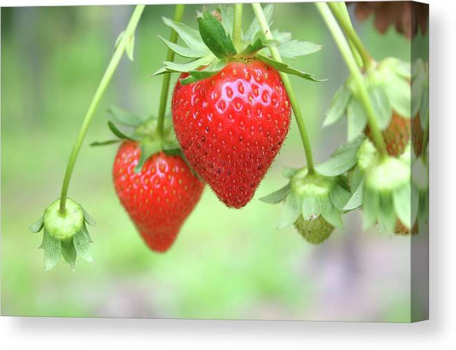 Juicy Canvas Print featuring the photograph Two Ripe Red Strawberries On The Vine by Hohenhaus