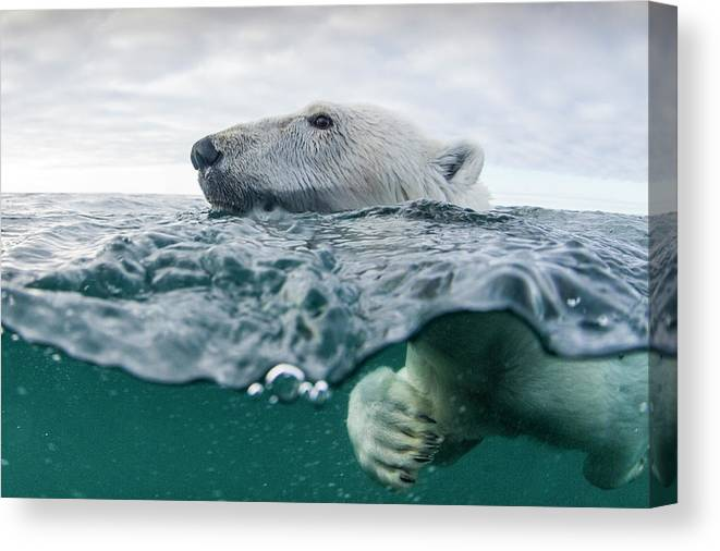 Paw Canvas Print featuring the photograph Underwater Polar Bear In Hudson Bay by Paul Souders