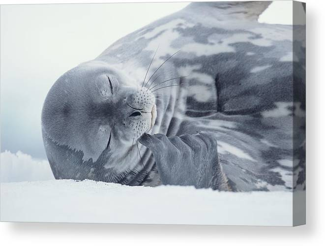One Animal Canvas Print featuring the photograph Weddell Seal Leptonychotes Weddellii by Eastcott Momatiuk