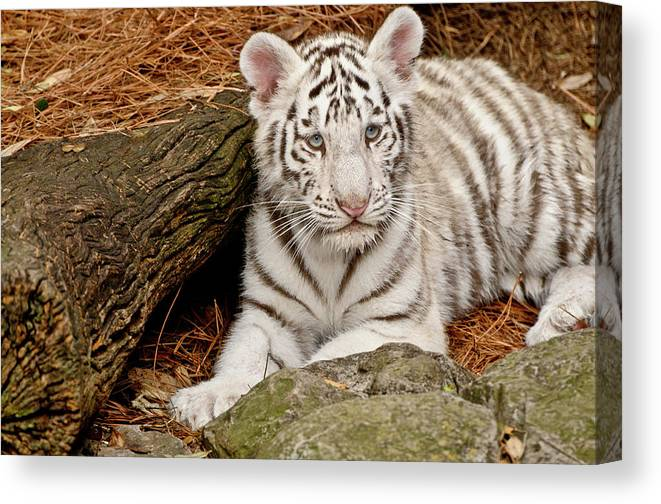 White Tiger Canvas Print featuring the photograph White Tiger Cub by Empphotography