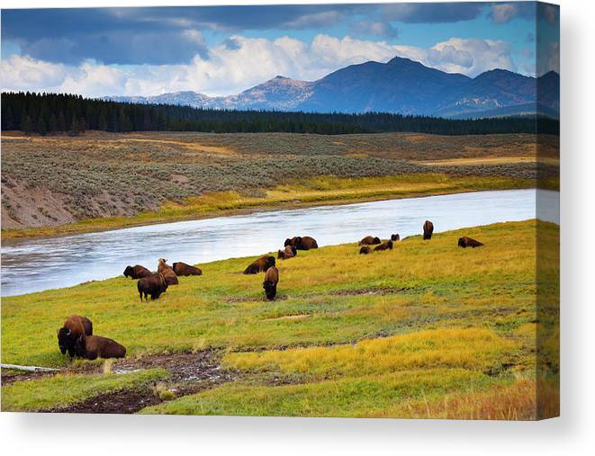 Scenics Canvas Print featuring the photograph Wild Bison Roam Free Beneath Mountains by Jamesbrey