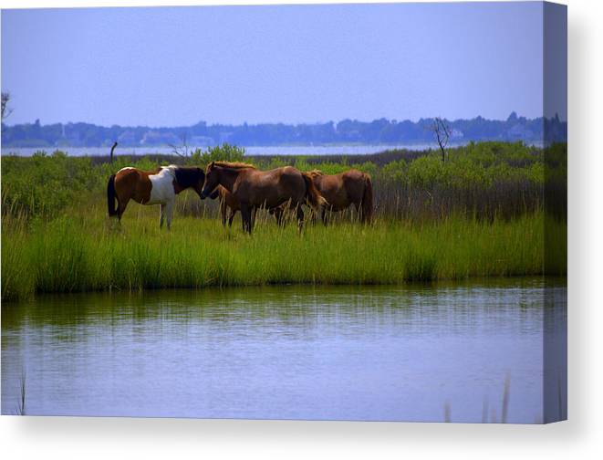 Horse Canvas Print featuring the photograph Wild Horses Of Assateague Island by Robin Houde Photography