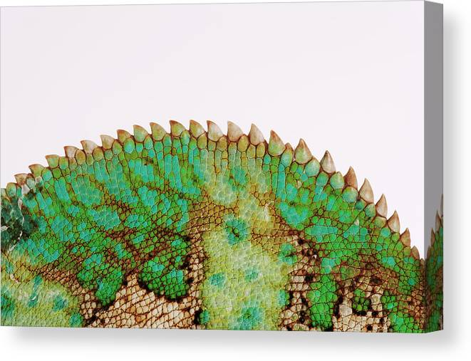 White Background Canvas Print featuring the photograph Yemen Chameleon, Close-up Of Skin by Martin Harvey
