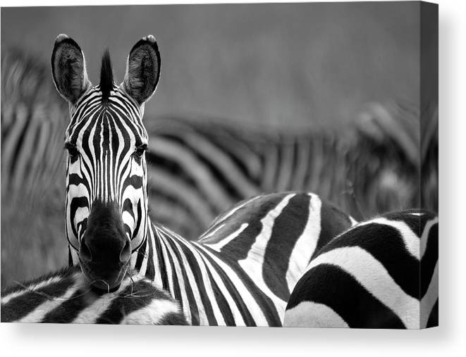 Plains Zebra Canvas Print featuring the photograph Zebra by Wldavies