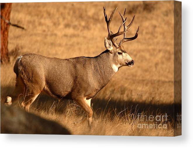 Mule Deer Canvas Print featuring the photograph 15-point Mule Deer Buck Walking Through Autumn Field by Max Allen