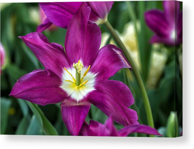 Purple Canvas Print featuring the photograph Perfect Purple! by Jean-Marc PAYET