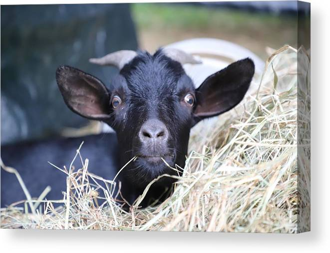 Goat Canvas Print featuring the photograph Chocolate by Cora Moore