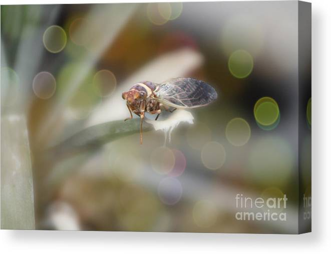 Cicada Canvas Print featuring the photograph Cicada on Pineapple Tree in Summer Light by Colleen Cornelius