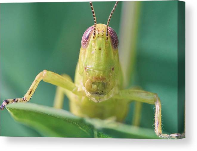 Grasshopper Canvas Print featuring the photograph Grasshopper Greeting by Jim Hughes