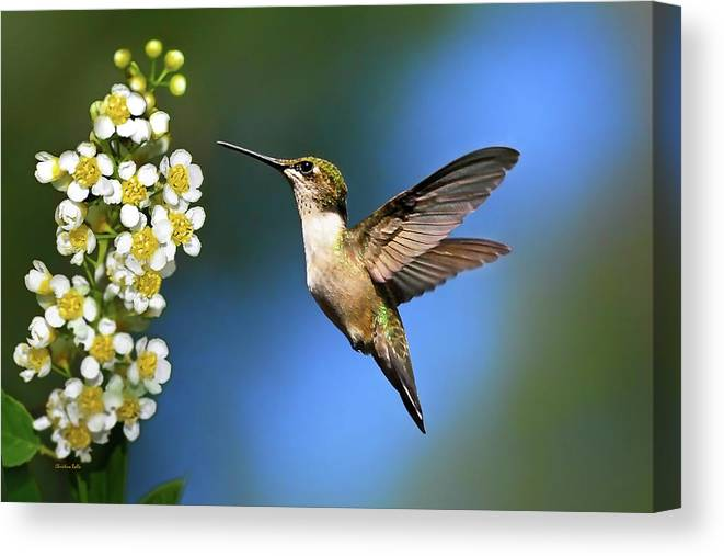 Hummingbird Canvas Print featuring the photograph Just Looking by Christina Rollo
