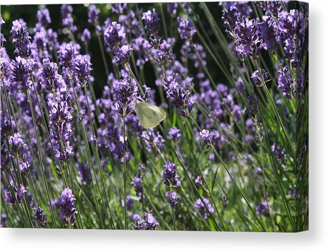 Lavender Canvas Print featuring the photograph Lavender by Vicki Cridland