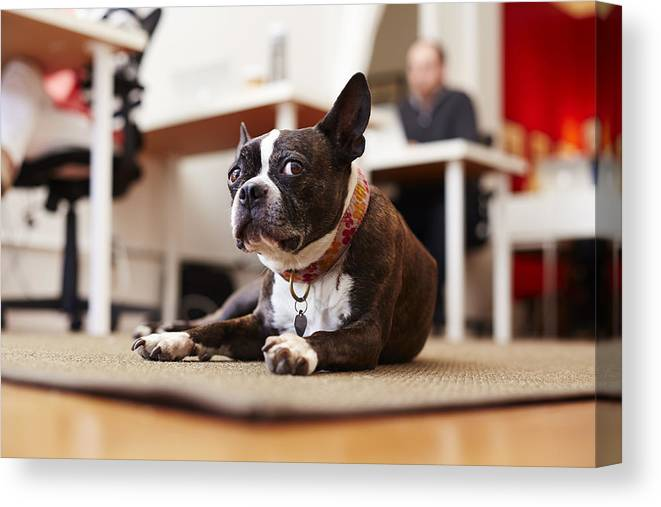 Pets Canvas Print featuring the photograph Portrait of curious dog lying on rug in an office by Seth K. Hughes
