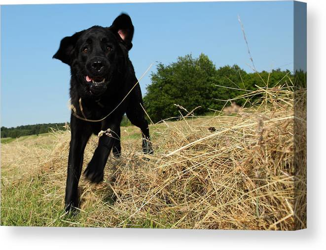 Grass Canvas Print featuring the photograph Running and jumping hunting black Labrador Retreiver dog in hay by Pejft