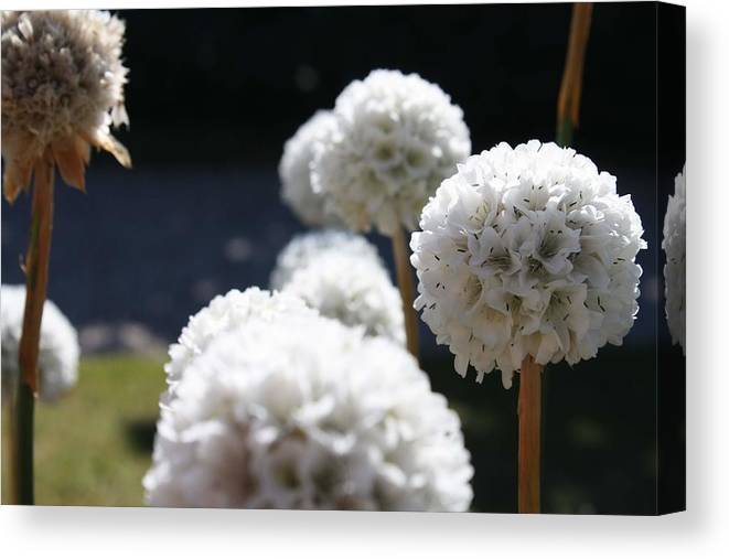 Aliums Canvas Print featuring the photograph White Aliums by Vicki Cridland