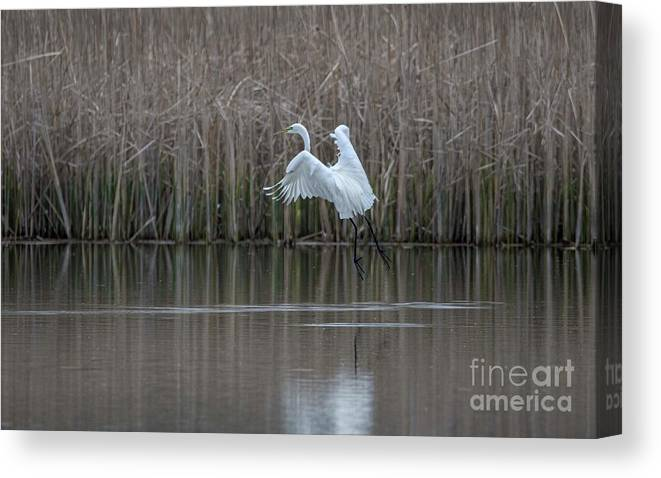 White Egret Canvas Print featuring the photograph White Egret - 2 by David Bearden