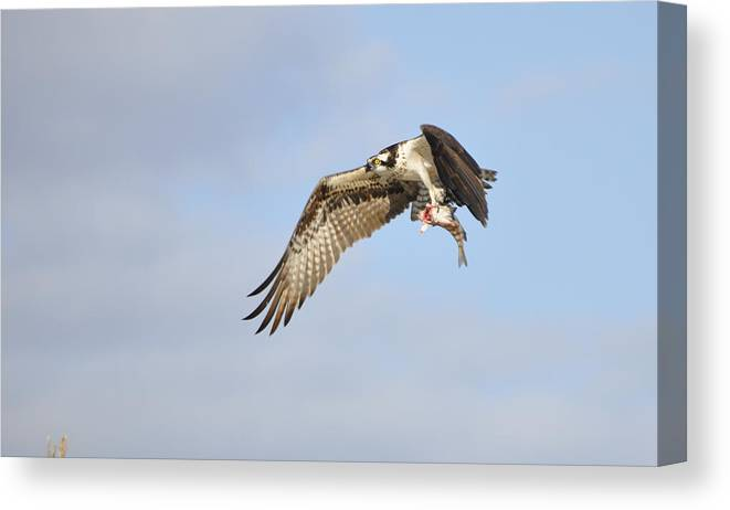 Osprey Canvas Print featuring the photograph Osprey Lunch To Go I by Christine Stonebridge