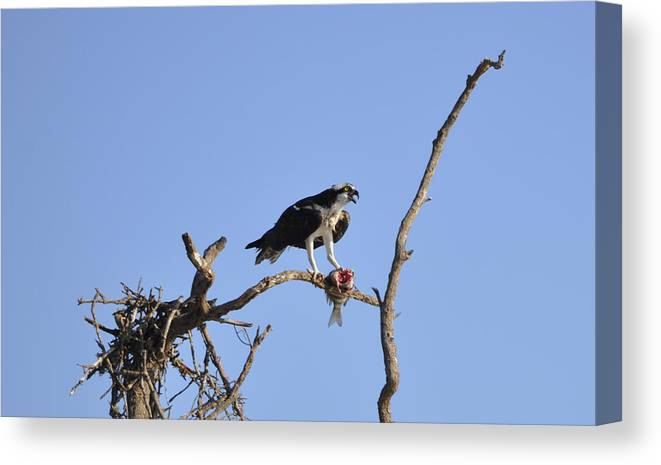 Osprey Canvas Print featuring the photograph Osprey with Catch I by Christine Stonebridge