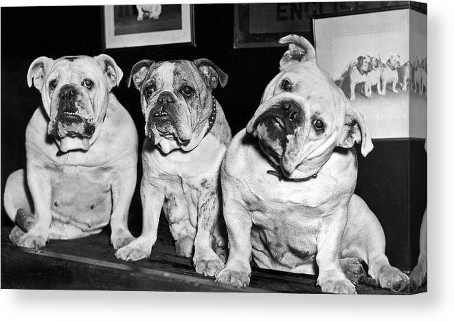 1930s Canvas Print featuring the photograph Three English Bulldogs by Underwood Archives