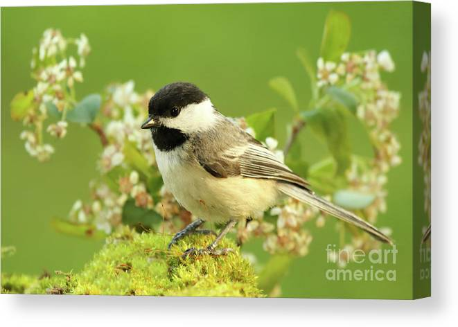 Bird Canvas Print featuring the photograph Chickadee Mossy Spring Perch by Max Allen