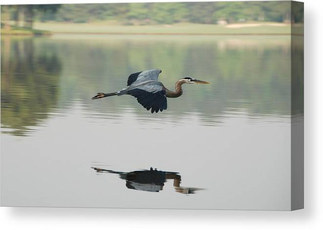 Animal Themes Canvas Print featuring the photograph Great Blue Heron In Flight by Photo By Hannu & Hannele, Kingwood, Tx