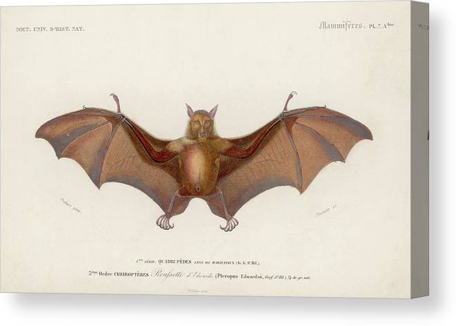 White Background Canvas Print featuring the digital art Pteropus Edwardsii by Hulton Archive