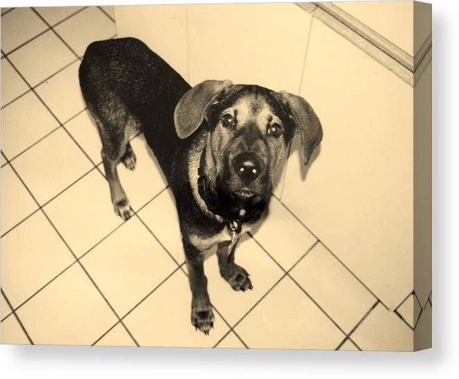Dog Canvas Print featuring the photograph Dukie by Rob Hans