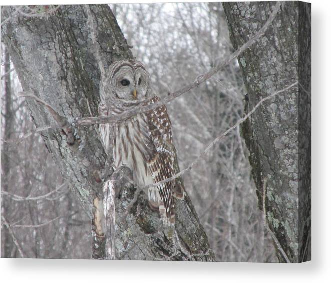 Barred Owl Canvas Print featuring the photograph Barred Owl by Rick Huotari